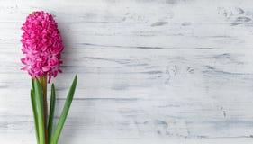 Vit träbakgrund med den rosa hyacintblomman Arkivfoton