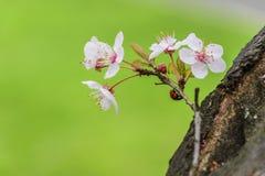 Vit träd och nyckelpiga för blomning Royaltyfria Foton