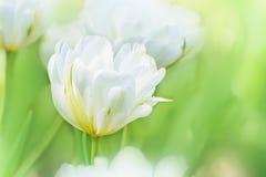 Vit trädgård för tulpan på våren Vårblomning Royaltyfria Foton
