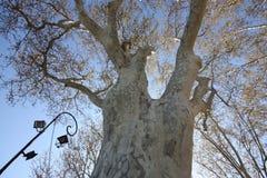 Vit trädstam royaltyfria foton