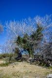Vit tree Arkivbild
