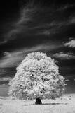 Vit tree Royaltyfri Fotografi