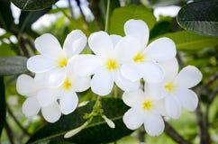 Vit tropisk blomma Royaltyfri Bild