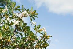 Vit tropisk blomma i blå himmel Arkivfoto
