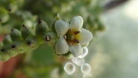 Vit tropisk blomma på franska Polynesien, Bora, Maupiti royaltyfria foton