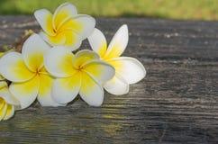 Vit tropisk blommaplumeria på en mörk bakgrund Fotografering för Bildbyråer