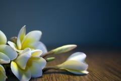 Vit tropisk blommaplumeria på en mörk bakgrund Arkivfoto