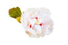Vit tropisk hibiskusblommaillustration Arkivbild