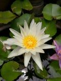 Vit tropisk lotusblomma Arkivfoton