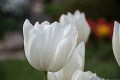 Vit tulpan, botaniska trädgårdar av Balchik, Bulgarien Royaltyfria Foton