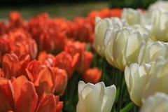 Vit tulpan i förgrunden med röda och vita tulpan bakom I Arkivfoto