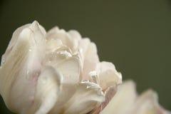 Vit tulpan med droppar Arkivfoto