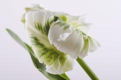 Vit tulpan på en vit bakgrund. Royaltyfri Bild