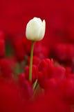 Vit tulpanblom, rött härligt tulpanfält i vårtid med solljus, blom- bakgrund, trädgårds- plats, Holland, Nederländerna Royaltyfri Foto