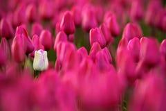 Vit tulpanblom, rött härligt tulpanfält i vårtid med solljus, blom- bakgrund, trädgårds- plats, Holland, Nederländerna Royaltyfria Bilder