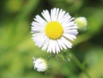 Vit tusensköna, blomma, utvändig oskarp bakgrund royaltyfri bild