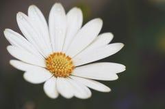 Vit tusensköna med daggdroppar fotografering för bildbyråer