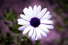 Vit tusensköna med lilamitten Royaltyfria Bilder