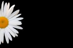 Vit tusensköna mot svart bakgrund Royaltyfri Foto