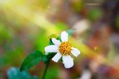 Vit tusensköna som blommar i morgon med solljus Royaltyfria Foton