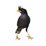 Vit-vädrad Myna fågel Arkivfoton