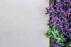 Vit väggbakgrund dekorerar med färg för Tradescantiaspathacealilor arkivfoto