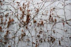 Vit väggbakgrund med den torra vissna murgrönan lämnar växter Royaltyfria Foton
