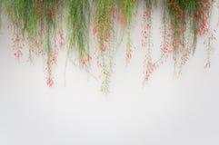 Vit väggbakgrund med firecrackerväxten över royaltyfria foton