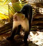 Vit vänd mot apa Costa Rica Arkivfoton
