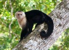 Vit-vänd mot Capuchin Royaltyfri Bild