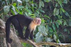 Vit vänd mot Capuchinapa i Manuel Antonio National Park, bindsallat arkivfoton