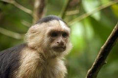 Vit-vänd mot Capuchinapa som stirrar in i avståndet Royaltyfri Bild