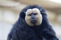 Vit-vänd mot saki, primat från beställningen av bred-nosed apor arkivbild
