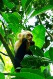 Vit vände mot Capuchinapan i Manuel Antonio National Park, Costa Rica Arkivbilder