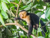 Vit vände mot capuchinsikter runt om Costa Rica Royaltyfria Bilder