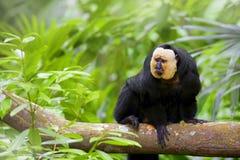 Vit-vände mot Saki Monkey Royaltyfri Foto