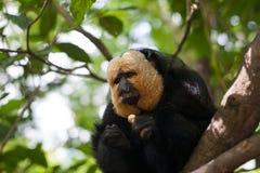 Vit-vände mot Saki Monkey Royaltyfri Bild