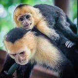 Vit vänt mot capuchinapaslut upp Arkivfoto