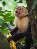 Vit vänt mot capuchinapaslut upp Royaltyfri Fotografi