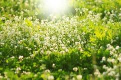 Vit växt av släktet Trifolium blommar i våren, grunt djup av fältet Arkivbild