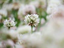 Vit växt av släktet Trifolium i ängen arkivfoton