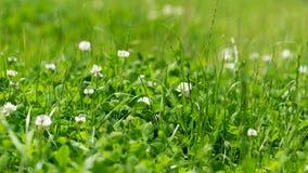 Vit växt av släktet Trifolium i det gröna gräset Förhållande16:9 Arkivfoto