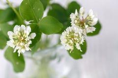 Vit växt av släktet Trifolium i en glass tillbringare på trätabellen Royaltyfri Bild