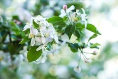 Vit vår Cherry Flowers på ljus suddig bakgrund Royaltyfri Foto