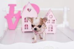 Vit valp för Chihuahua nära rosa färgpappershus Royaltyfria Bilder