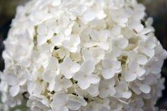 Vit vanlig hortensia arkivfoto