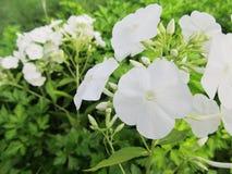 Vit vanlig hortensia i trädgården Arkivfoto