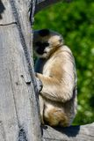 Vit var fräck mot Gibbon 4 arkivbild