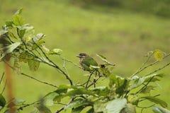 Vit vara fräck mot barbet& x28; Megalaima viridis& x29; royaltyfri foto