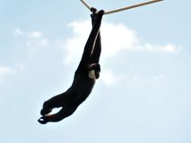 Vit-vara fräck mot Gibbon apa (Nomascus) Arkivfoton